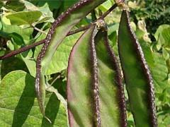 扁豆什么时间种植?扁豆如何高产栽培!