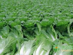 大白菜六个发展方向。