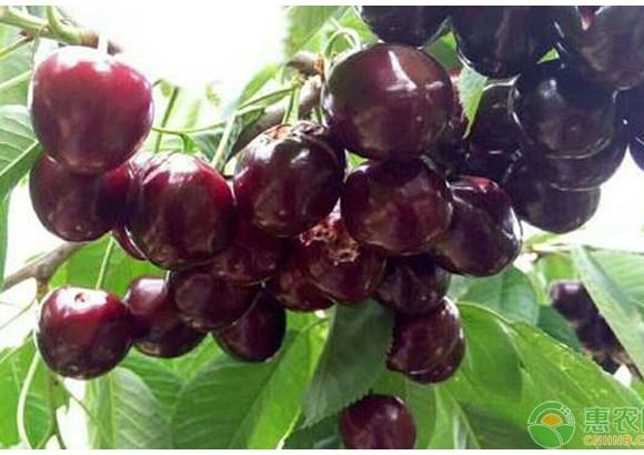 6个大樱桃品种深得市场喜爱!
