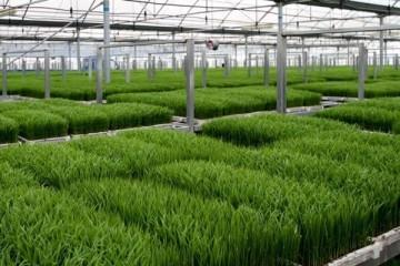 水稻育秧技术要点