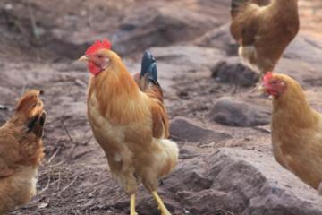 养1000只鸡一年收入一年能赚多少钱是目前网络热门话题