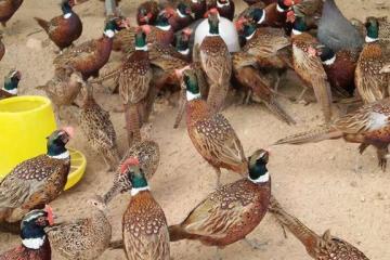养殖七彩山鸡50大骗局揭秘养殖七彩山鸡的步骤与事项