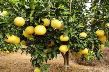 柚子种植户一定要了解柚子树的病害识别这样才能保证产量