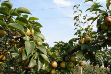 梨树种植户想知道梨树病虫害图谱及防治方法具体内容