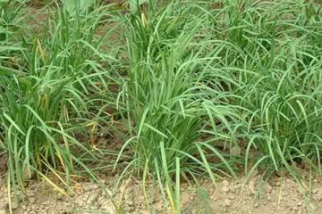 韭菜种植户了解并掌握韭菜病虫害的生物防治法是非常必要的