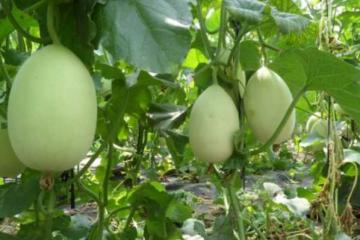 甜瓜种植技术包括哪些应用才能够保证果实的产量与口感