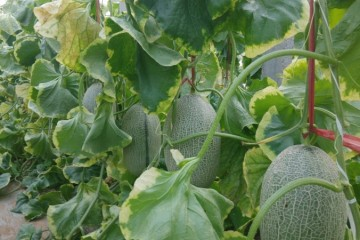 一亩地哈密瓜能赚多少钱?哈密瓜种植利润成本分析