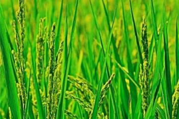 水稻穗肥最好用什么肥?