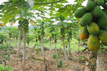 木瓜病虫害防治技术