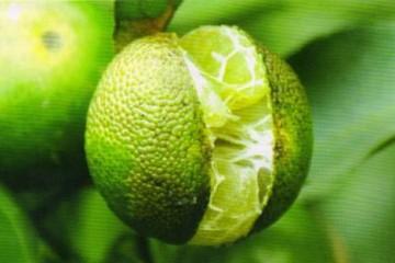 脐橙常见的三大病害的防治