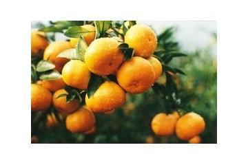 黄岩蜜桔和涌泉蜜桔哪个好