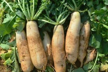 春季萝卜种植技术