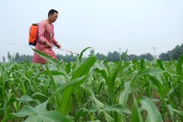 玉米除草药剂使用注意事项