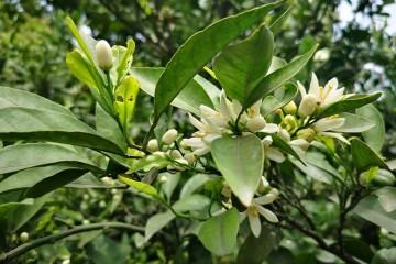 桔子树花期病虫害防治方法