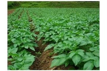 土豆怎么追肥产量高