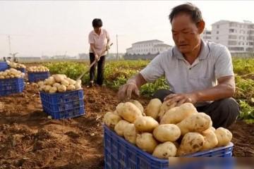 新土豆供大于求,价格持续下降