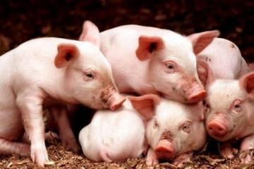2021年猪价预测