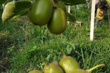 红心猕猴桃如何疏蕾疏果