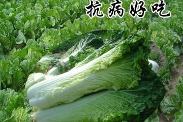 目前主要的白菜品种