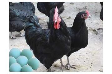 怎么挑选绿壳蛋鸡种蛋